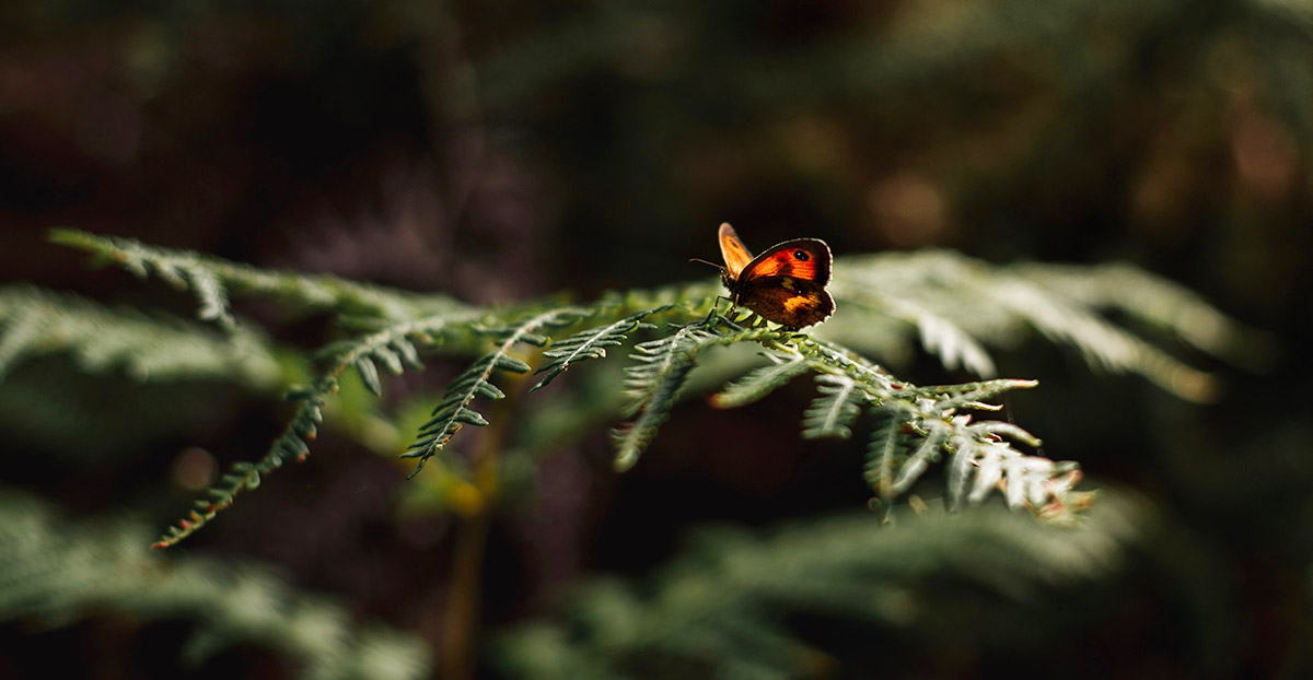 Butterfly on evergreen branch